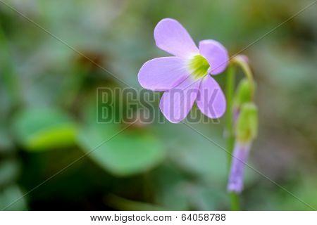 Wild Violet Wood Sorrel