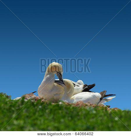 Resting Gannet Family In Blue Sky, Germany