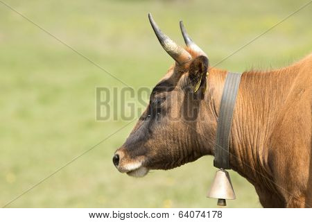 Cow With Bell
