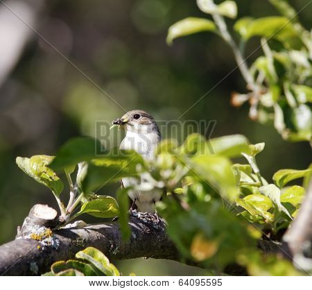A female flycatcher sits on a twig.