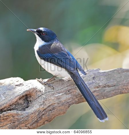 Dark-backed Sibia