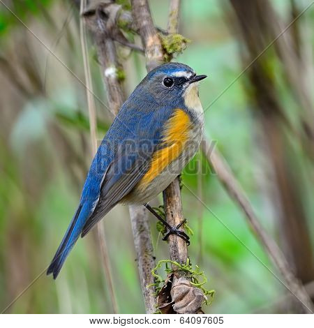 Male Red-flanked Bluetail