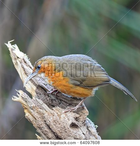 Rusty-cheeked Scimitar-babbler