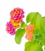 stock photo of lantana  - beautiful Lantana camara flower is isolated on white background closeup - JPG
