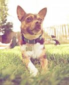 image of applehead  - a cute chihuahua enjoying the outdoors done with a warm instragram like filter - JPG