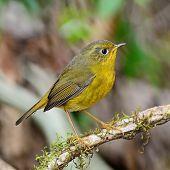 stock photo of robin bird  - Beautiful yellow bird - JPG
