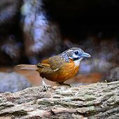 foto of babbler  - Beautiful brown Babbler bird - JPG