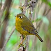 pic of robin bird  - Beautiful yellow bird - JPG