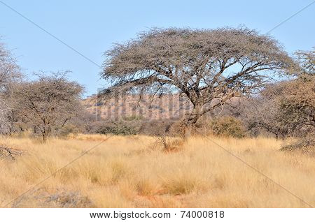 Acacia And Grass Landscape