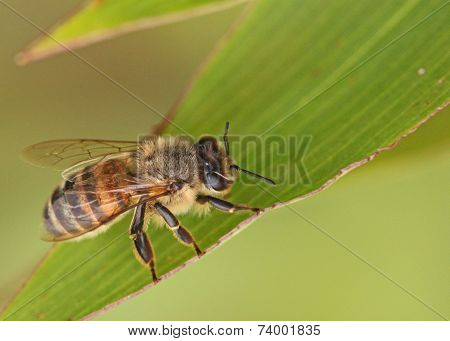 honeybee resting on leaf
