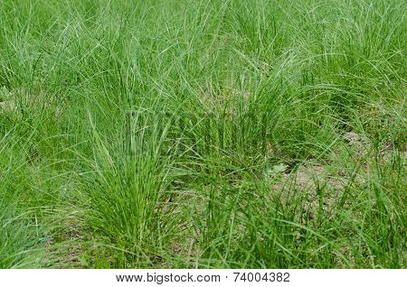 Green herbal background of bushy fresh grass