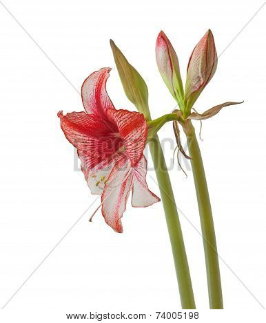 White Hippeastrum With Red Stripes