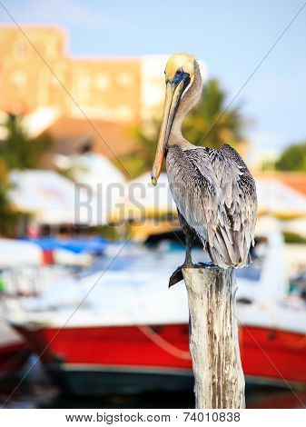 Brown Pelican On Mexican Mujeres Island