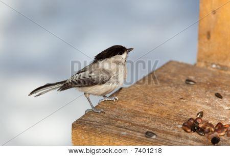 Willow Tit, Black-capped Chickadee, Parus Montanus