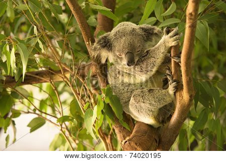 Koala by itself eating.