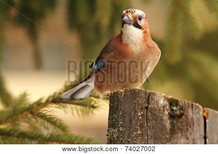 Eurasian Jay Looking Towards Camera