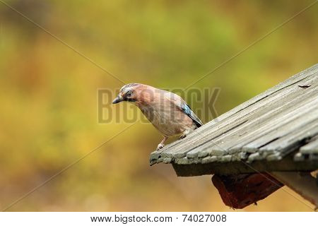 European Jay On Old Roof