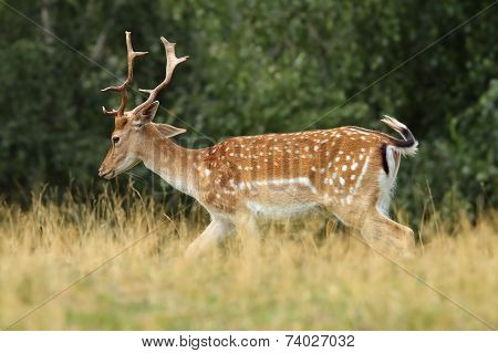 Fallow Deer Stag Walking On Clearing