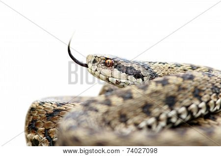 Isolated Venomous Viper