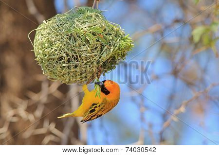 Golden Masked Weaver - African Wild Bird Background - Home Builder