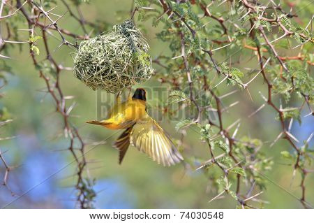 Golden Masked Weaver - African Wild Bird Background -