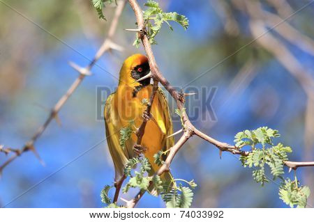 Golden Masked Weaver - African Wild Bird Background - Hiding Beauty