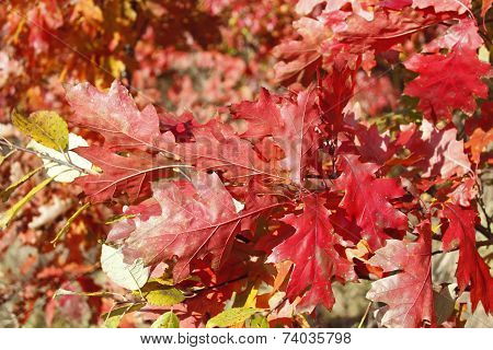 Oak Twig With Bright Red Leaves
