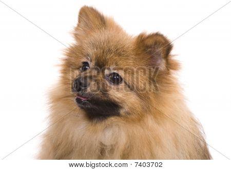 Pomeranian Spitz Portrait