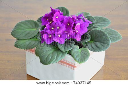 African violets (Saintpaulia ionantha)