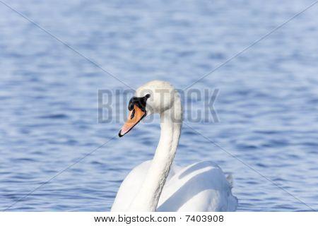 Closeup of A Mute Swan