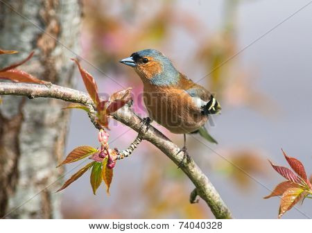 chaffinch perched on a tree branch