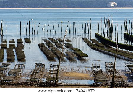 oyster-farming in Arcachon bay