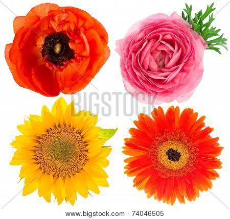 Flower Head. Ranunculus, Sunflower, Anemone Isolated On White