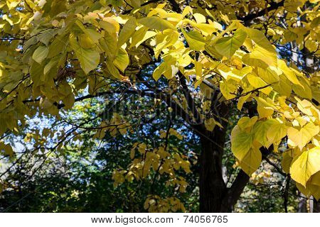 Autumnal Basswood Yellow Tree