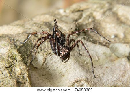 Macro Shoot Of A Tarantula Spider Over A Wooden Table, Poison Insect.