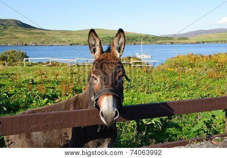 Donkey in a field Connemara