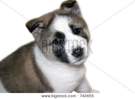 Akita Pupppy