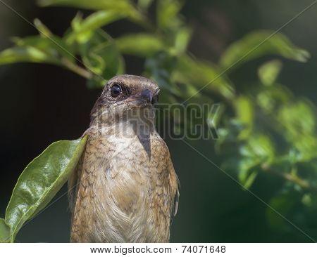 Bird - Dusky Leaf Warbler, Phylloscopus Fuscatus
