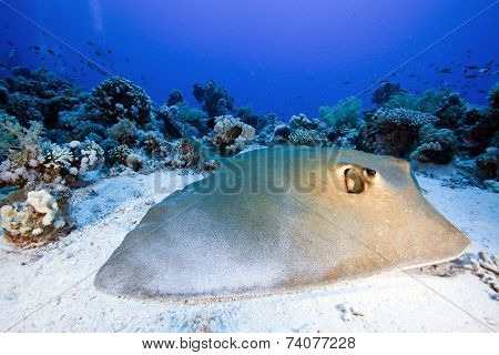 feather tail stingray