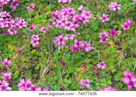 Pink woodsorrel (Oxalis corymbosa)