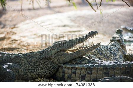 Crocodile Lying On The Shore