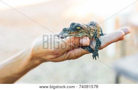 Alligator A Human Hand