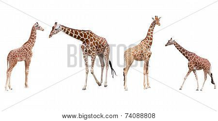 Set from four giraffes in the different poses