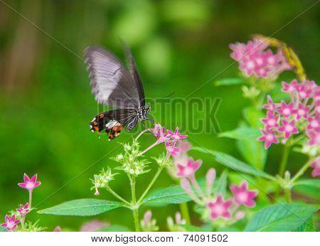 Black Butterfly Feeding