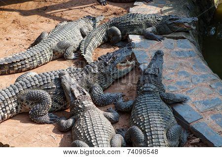 Crocodiles In The Farm At Vietnam