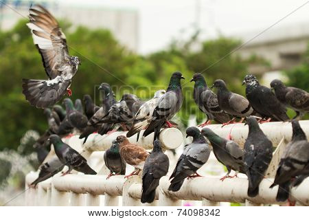 Covey Of Pigeon Birds , In The Public Park