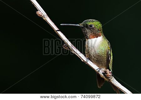 Male Ruby Throat Humming Bird on a tree