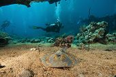 stock photo of sting  - blue spotted sting ray and scuba divers - JPG