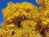 picture of ash-tree  - autumnal golden foliage of ash - JPG