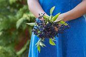 pic of elderberry  - Close Up Of Woman Holding Bunch Of Elderberries - JPG